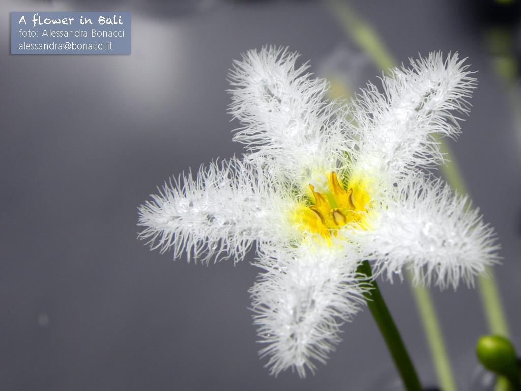 Fotografia natura | A flower in Bali | Fotografia di Alessandra Bonacci
